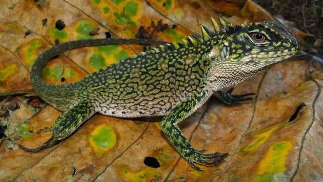 Recently Discovered Wood Lizard (Enyalioides binzayedi)