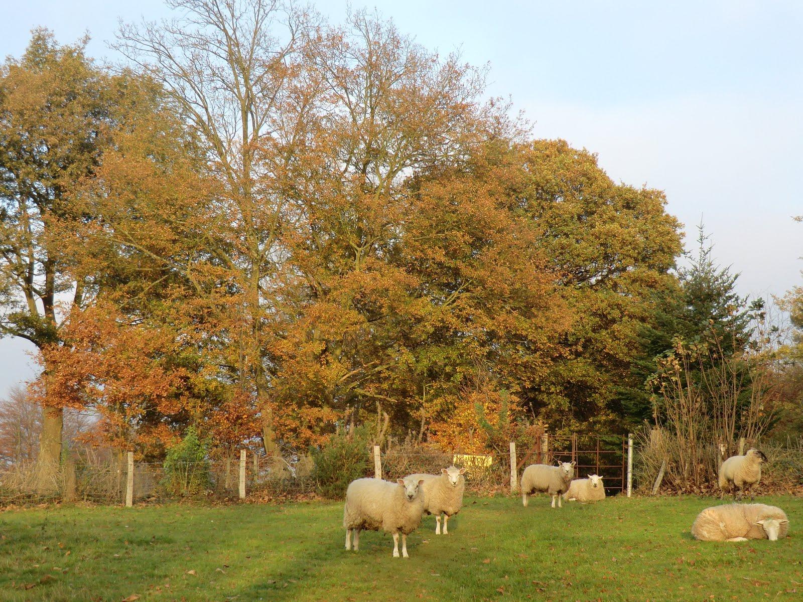 CIMG0329 Sheep field, Tandridge