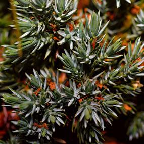 Soft Spikey by Juliusz Wilczynski - Nature Up Close Trees & Bushes