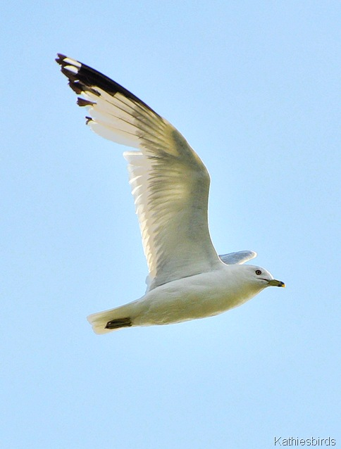 8. ringbilled gull-kab