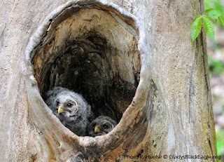 Barred owls and other cavity nesting birds adopt raccoon nesting trees, as the owls normally nest earlier than the nest's mammal engineer.