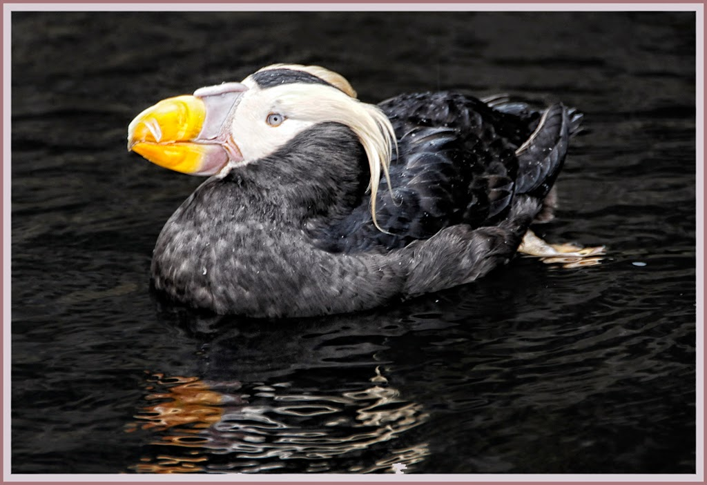 """Tufted Puffin"" by Ardythe Wendt -- 2nd place Digital General A"