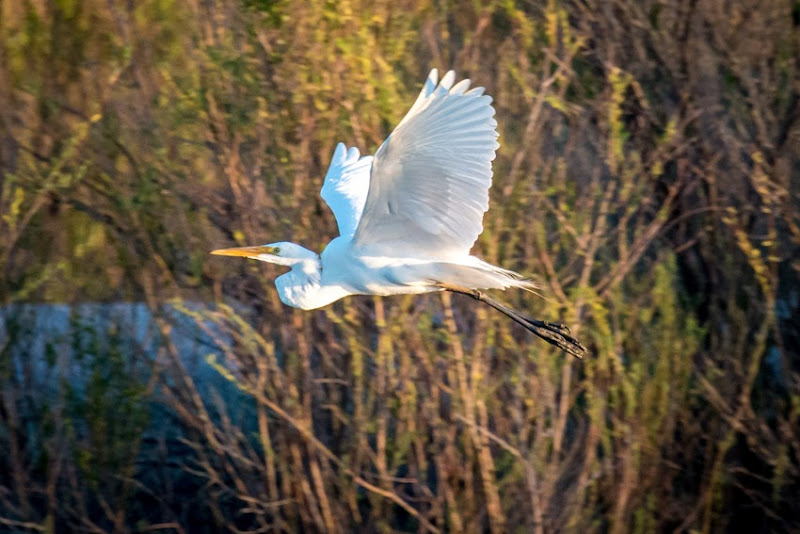 Great Egret IMG_1738
