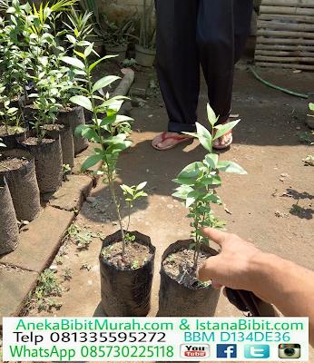 Jual bibit tanaman pohon siwak harga murah