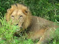 Dominant male lion - Thornybush Reserve, Kruger NP