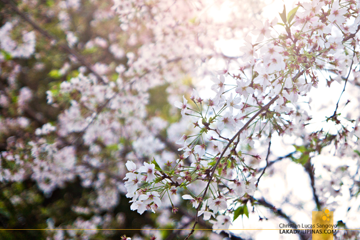 White and Pink Cherry Blossoms in Japan