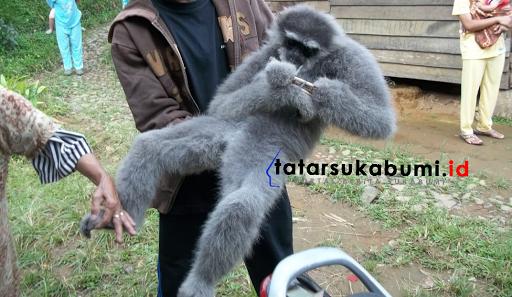Kawanan Monyet Liar Serang Kebun Warga di Sukabumi