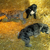 Available black male & blue merle female @ 5 weeks with Newton