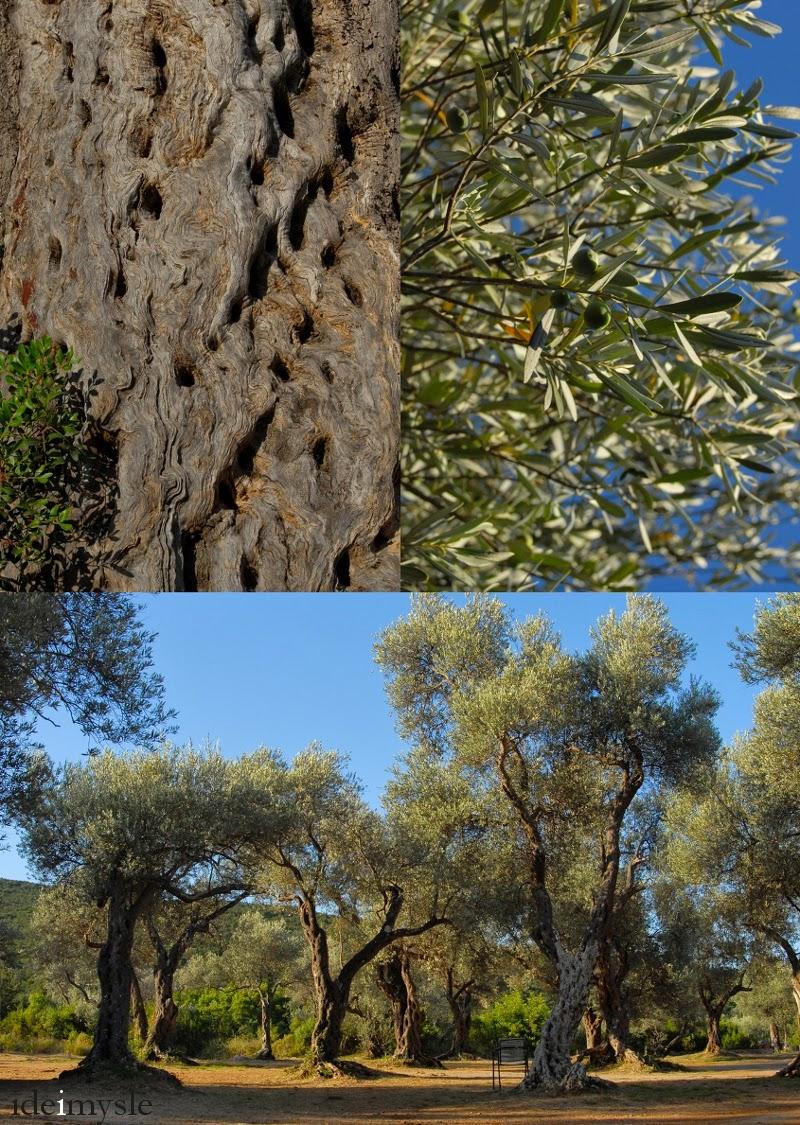 drzewa oliwne, gaje oliwne, bałkany, pień oliwki, liście oliwki