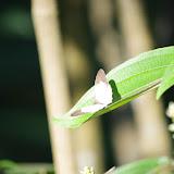 Pareuptychia sp. Patawa (Montagne de Kaw), 24 octobre 2012. Photo : J.-M. Gayman