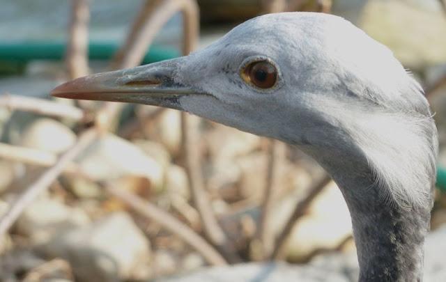 Livingston Ripley Waterfowl Conservancy - P1020524.JPG