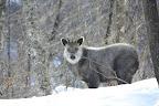 日当山GFの角折れ 2012冬は仔、Sheep11と連れ立っていることから雌と推定。 ここ、3年はこのエリアに生息を確認している。