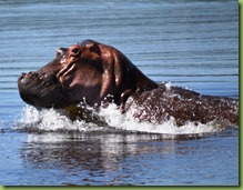 hippo charging