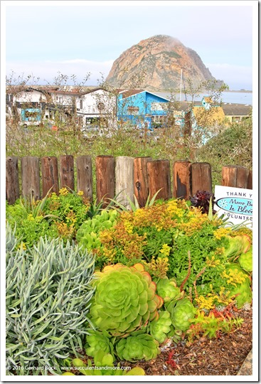 More succulent sights in Morro Bay