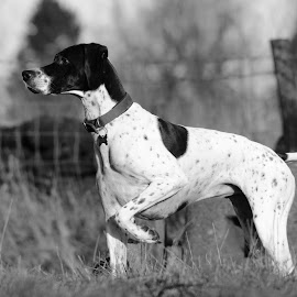 English Pointer by Mark Butterworth - Animals - Dogs Portraits