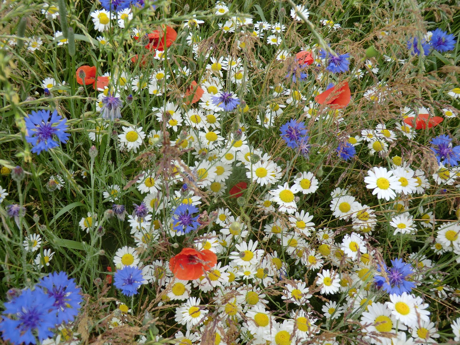 CIMG8636 Wildflower meadow, Hollingbourne Meadows