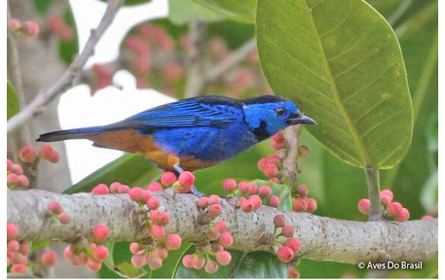 Opal-rumped Tanager (T...