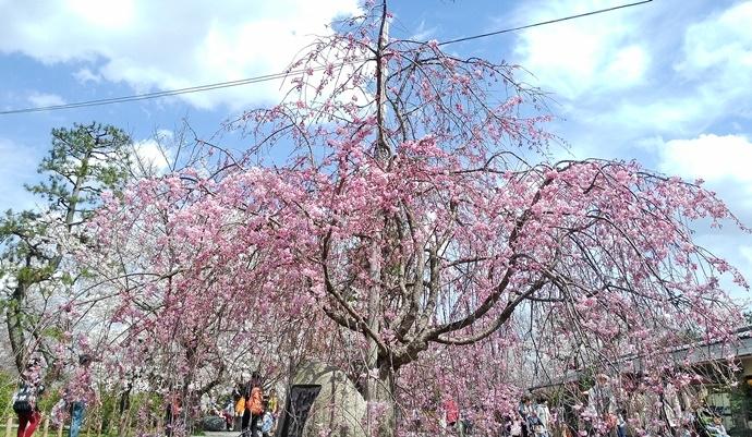 20 京都 嵐山渡月橋 賞櫻 櫻花 Saga Par 五色霜淇淋 彩色霜淇淋