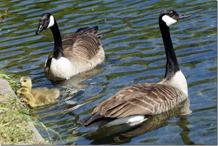 paris canada geese in bois de bouglogne SC 051718 00000