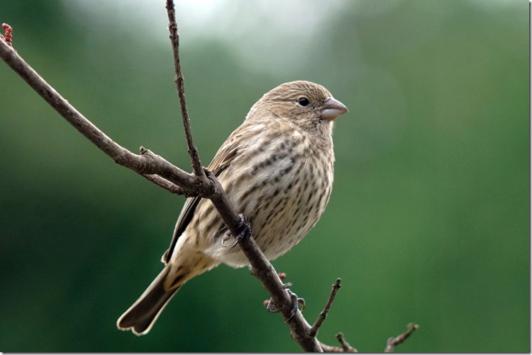 lopez female house finch 110817 00000