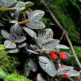 Big Island Begonia by Beth Bowman - Flowers Flower Gardens