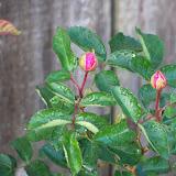 Gardening 2011 - 100_6858.JPG