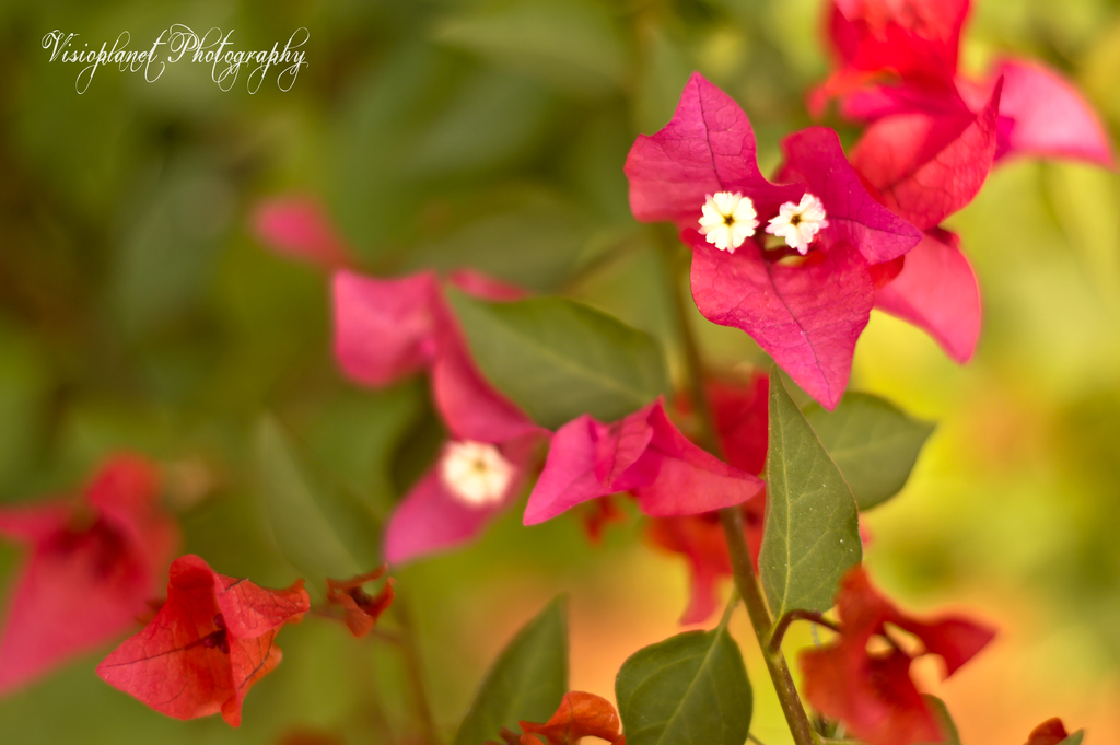 Pink and White by Sudipto Sarkar on Visioplanet