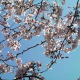 2010_公園の桜