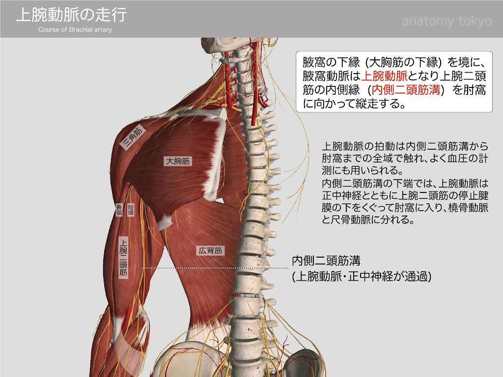 2013-h26-上腕動脈1.jpg