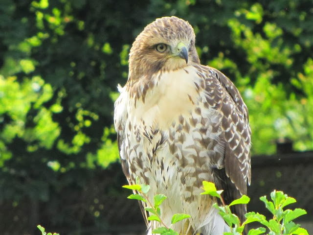 juvenile Red-tailed Hawk (Sherri Oldham)