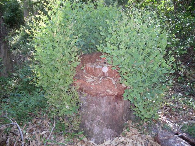 eucaliptus - 009.JPG