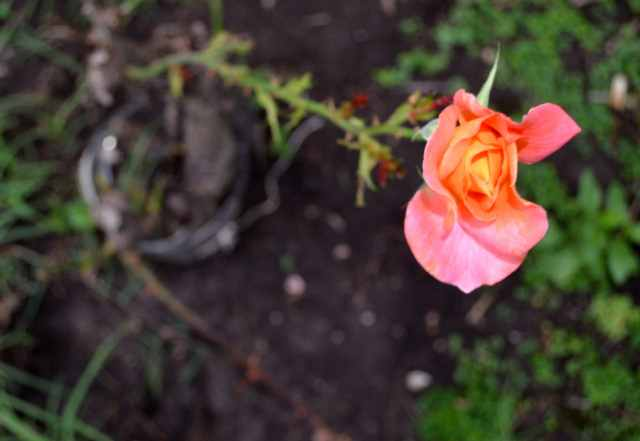 Rosa resiliente