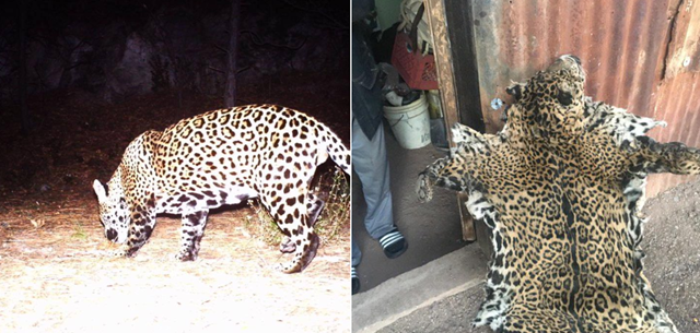 One of the only wild jaguars in the U.S. was killed and pelted. The Center for Biological Diversity says a photo it received of a dead jaguar matches the coat of a young male named Yo'oko. Photo: Northern Jaguar Project
