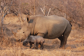Female Rhino with Three Day Old Baby Male