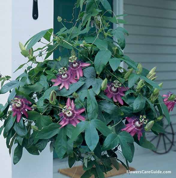 How to to Grow Passion Vine flower Indoors