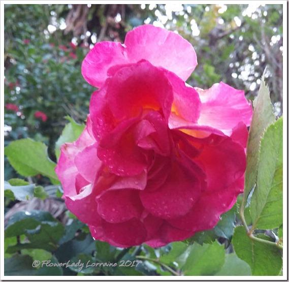 01-23-granada-rose2