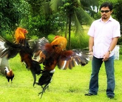 Pacquiao-Cockfighting.jpg