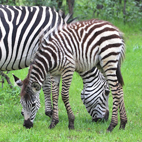 Zebra Mother and Baby, Zambia