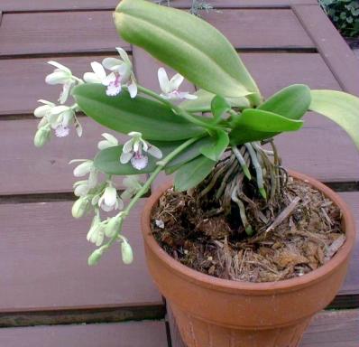 Растения из Тюмени. Краткий обзор - Страница 7 Sedirea4