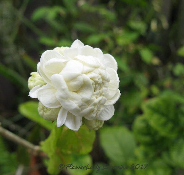 [04-25-grand-duke-jasmine%5B5%5D]