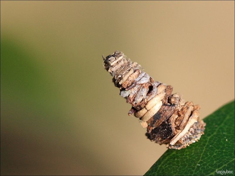 bagworm-moths-case-1