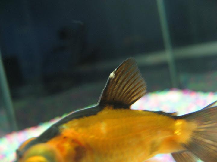 goldfish%2520011.jpg