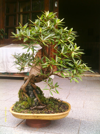 Ficus Nerifolia, Uma raiz de 3 anos... - Página 2 IMAG0092
