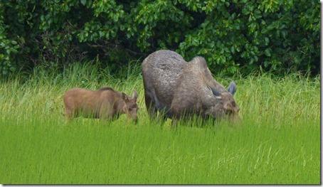 Moose and Calf outside Seward