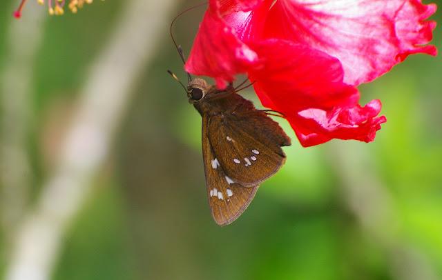 Ochlodes siva karennia EVANS, 1932 (?). Jinghong (Xichuangbanna, Yunnan), 29 août 2010. Photo : J.-M. Gayman