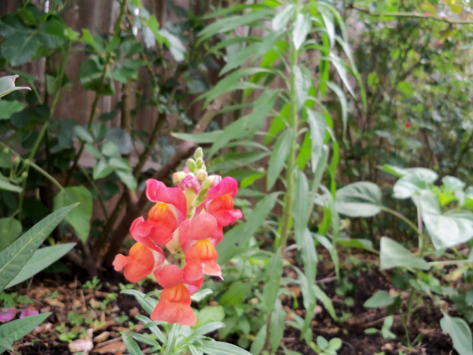 Gardening 2013 - 115_6057.JPG