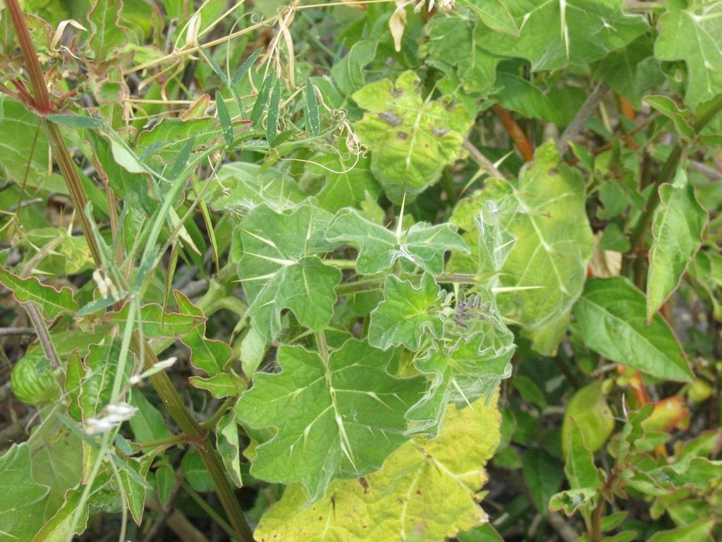 [Tropical-soda-apple-Solanum-viarum-1]