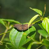 Euptychoides nossis (HEWITSON, 1862). Sentier de la Cascade, Los Cedros, 1600 m. Montagnes de Toisan, Cordillère de La Plata (Imbabura, Équateur), 20 novembre 2013. Photo : J.-M. Gayman