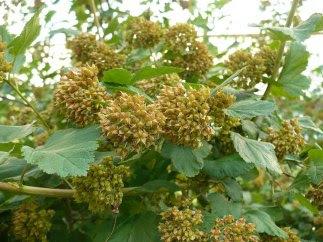 Pęcherznica kalinolistna owocostan Physocarpus opulifolius