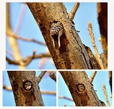 Photo: 撮影者:村山和夫 コゲラ タイトル:コゲラの巣穴掘り 観察年月日:2014年11月22日 羽数:2羽 場所:片倉の集いの森公園 区分:行動 メッシュ:八王子6G コメント:コゲラが巣穴を掘るのは繁殖期(5月~7月)だけ聞いたが、この寒くなる時期にせっせと掘っている。時々、木屑を咥えて巣穴の外に撒き散らしている。木の種類はクルミです。アカゲラが興味を持って近づき、コゲラが防御している。